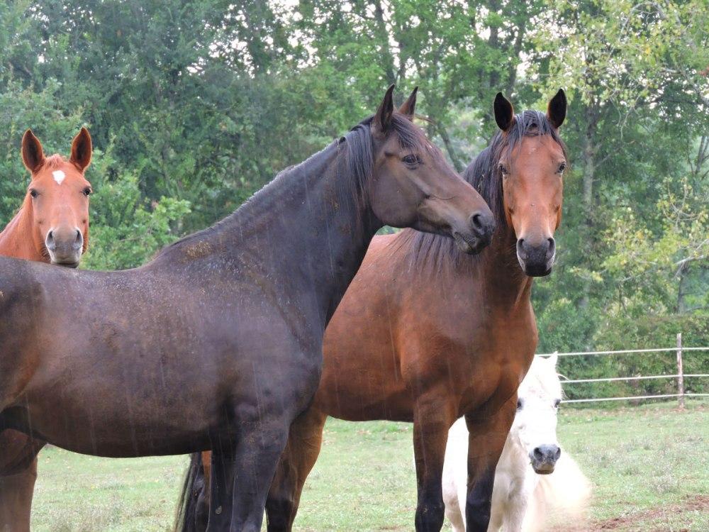 chevaux-au-pre