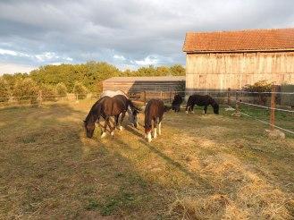 Lumière du soir sur le pré des poneys